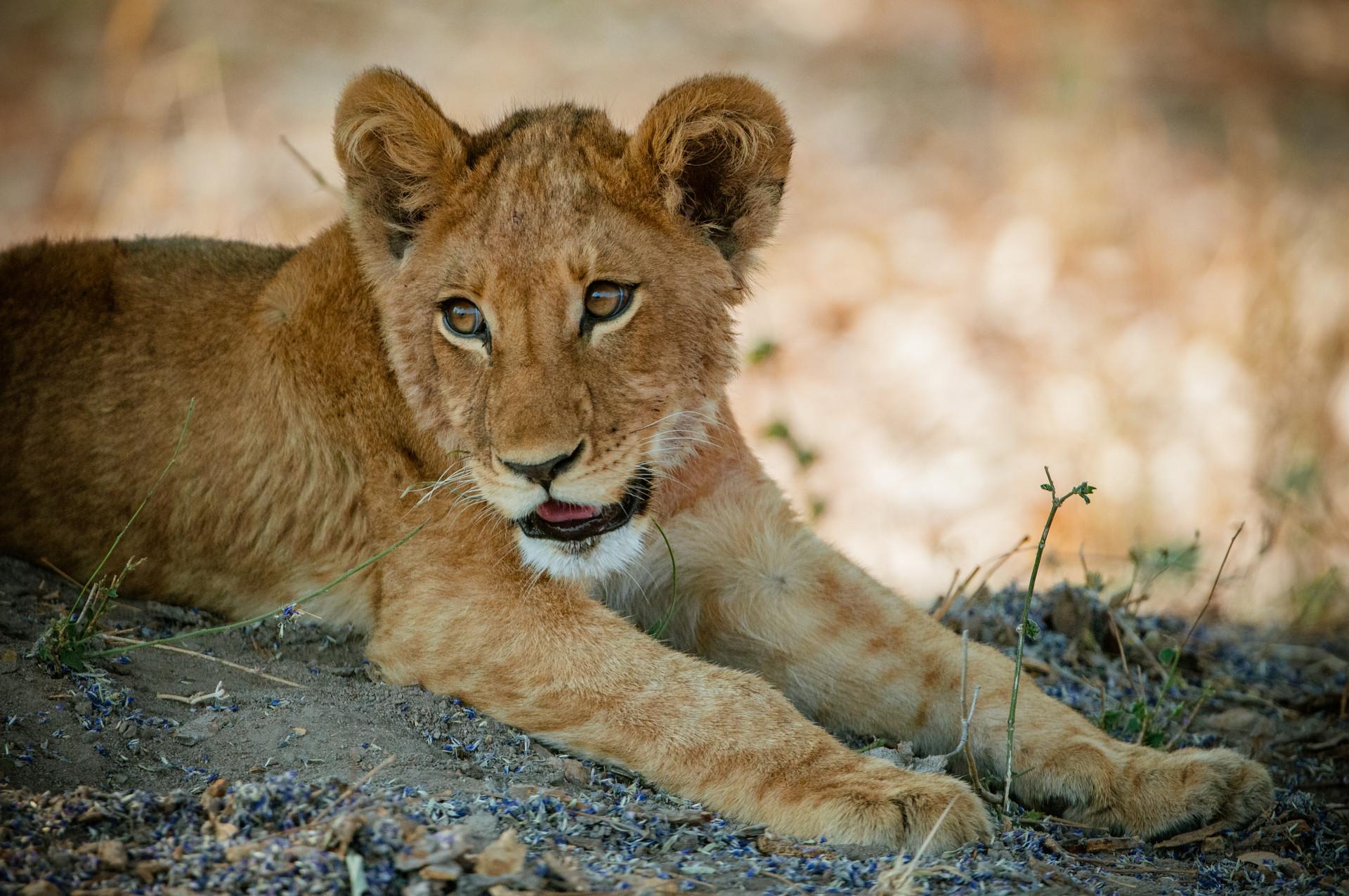 LIONS - 49.jpg