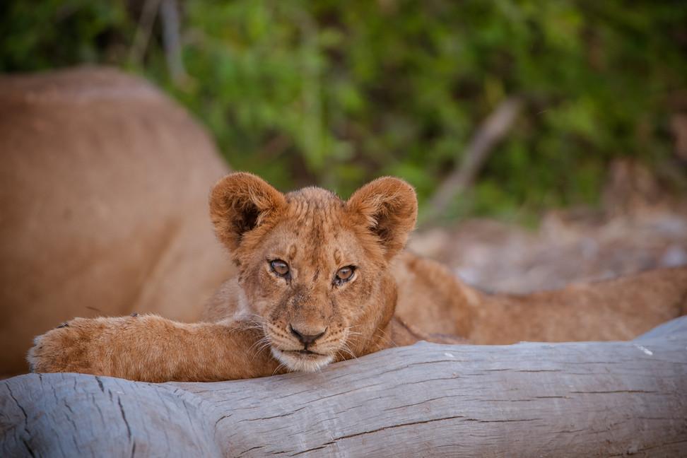 LIONS - 46.jpg