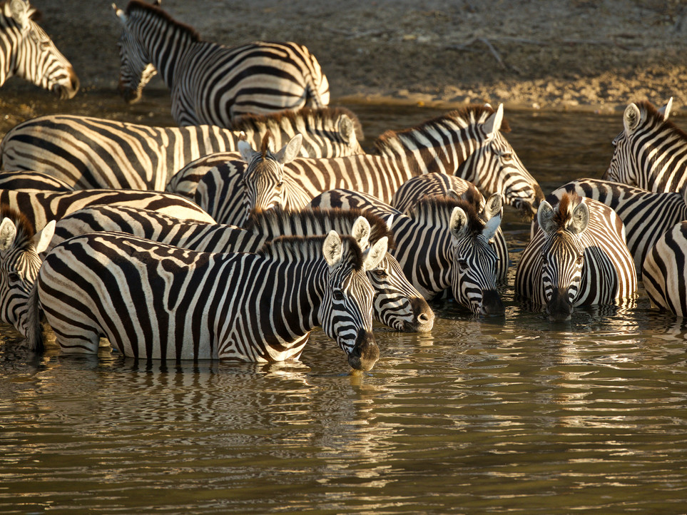 zebrasdrinking.jpg