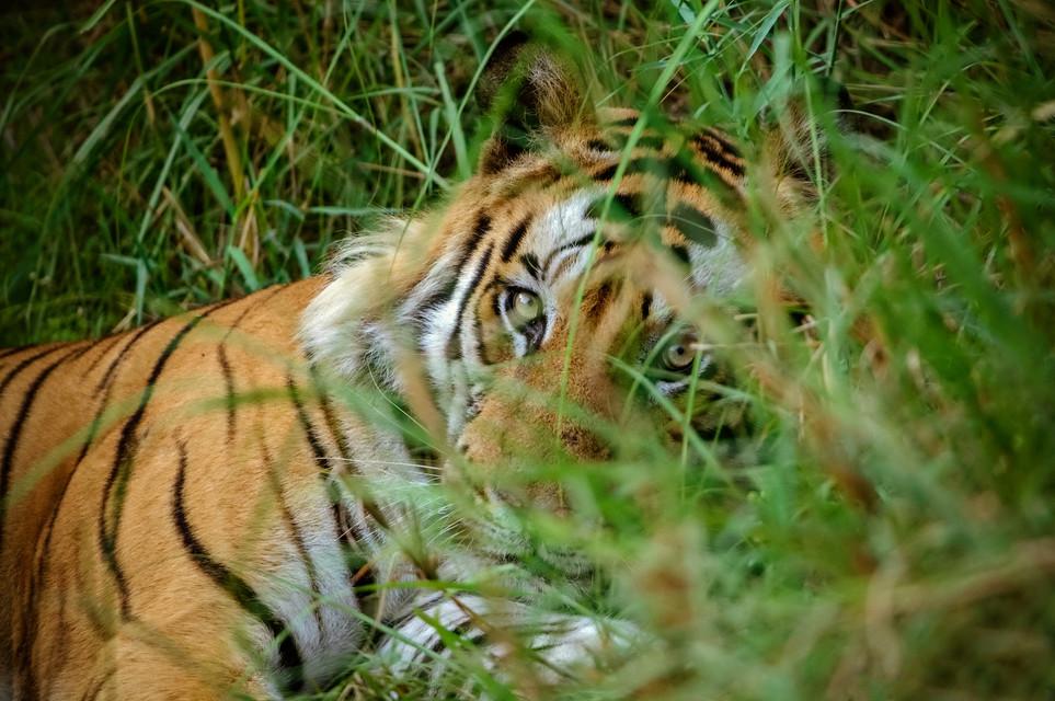 TIGERS - 11.jpg