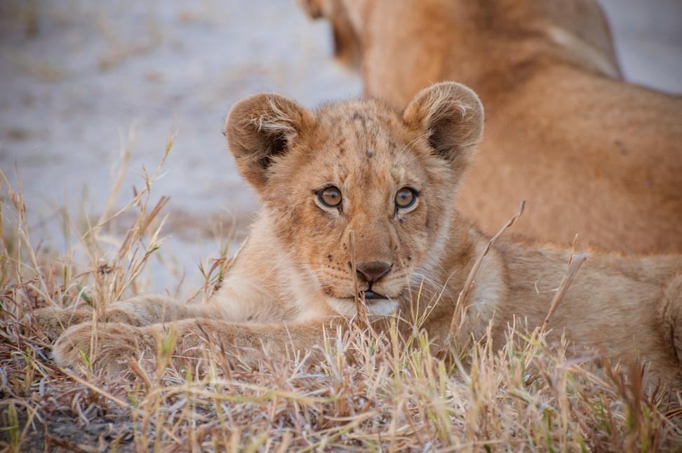 LIONS - 65.jpg
