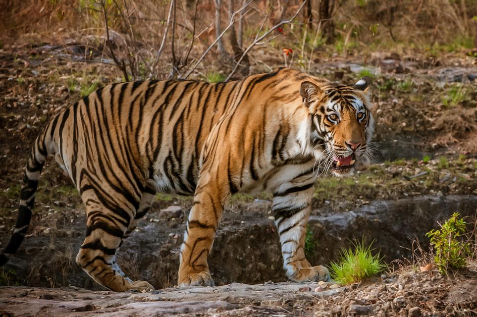 TIGERS - 34.jpg
