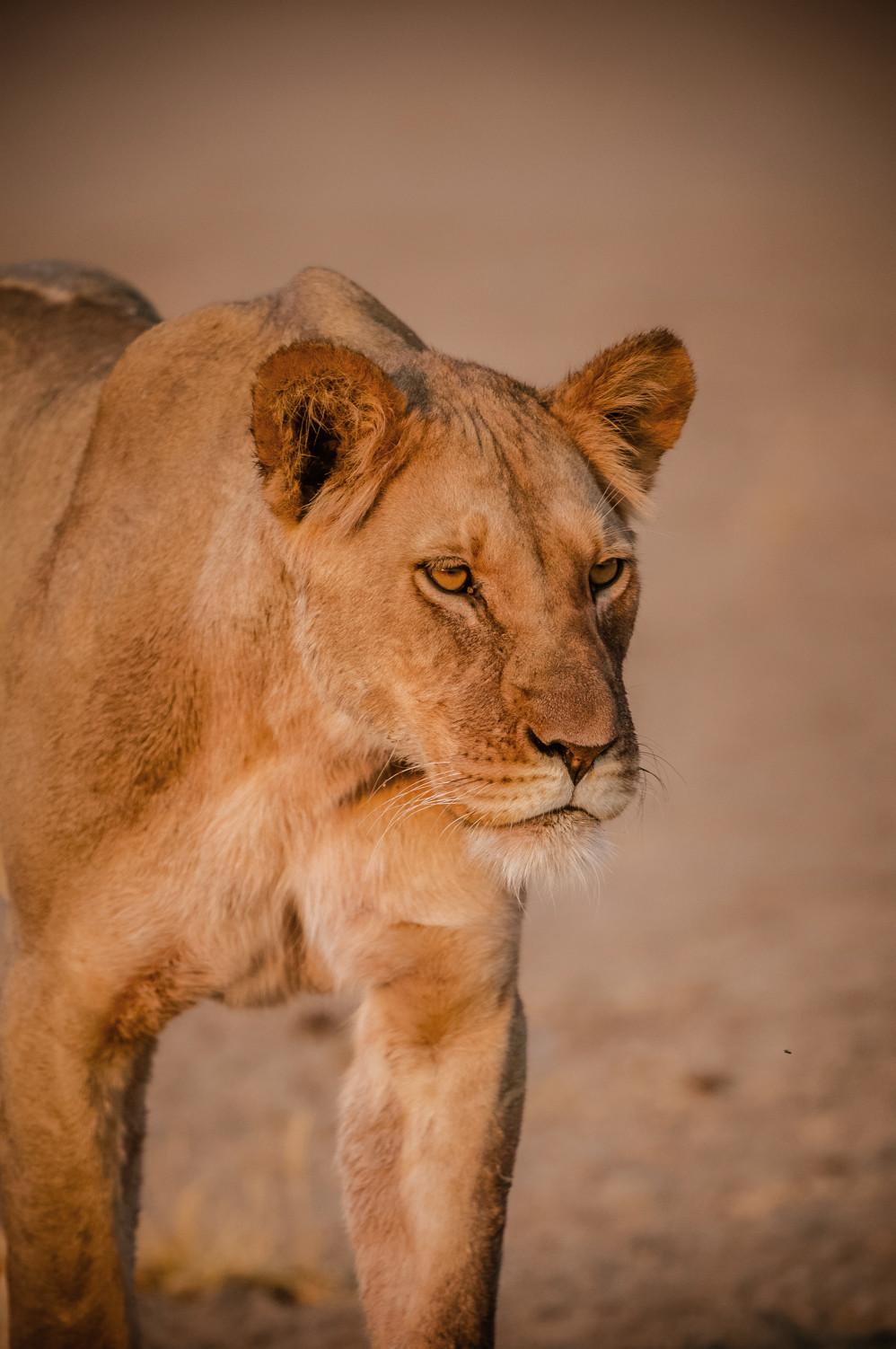 LIONS - 75.jpg