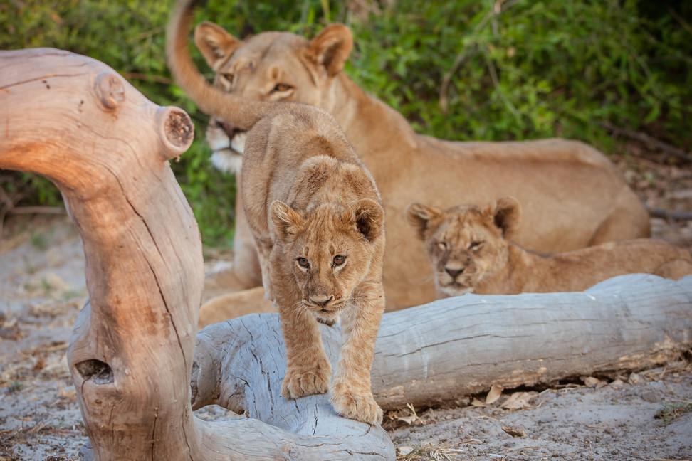 LIONS - 44.jpg