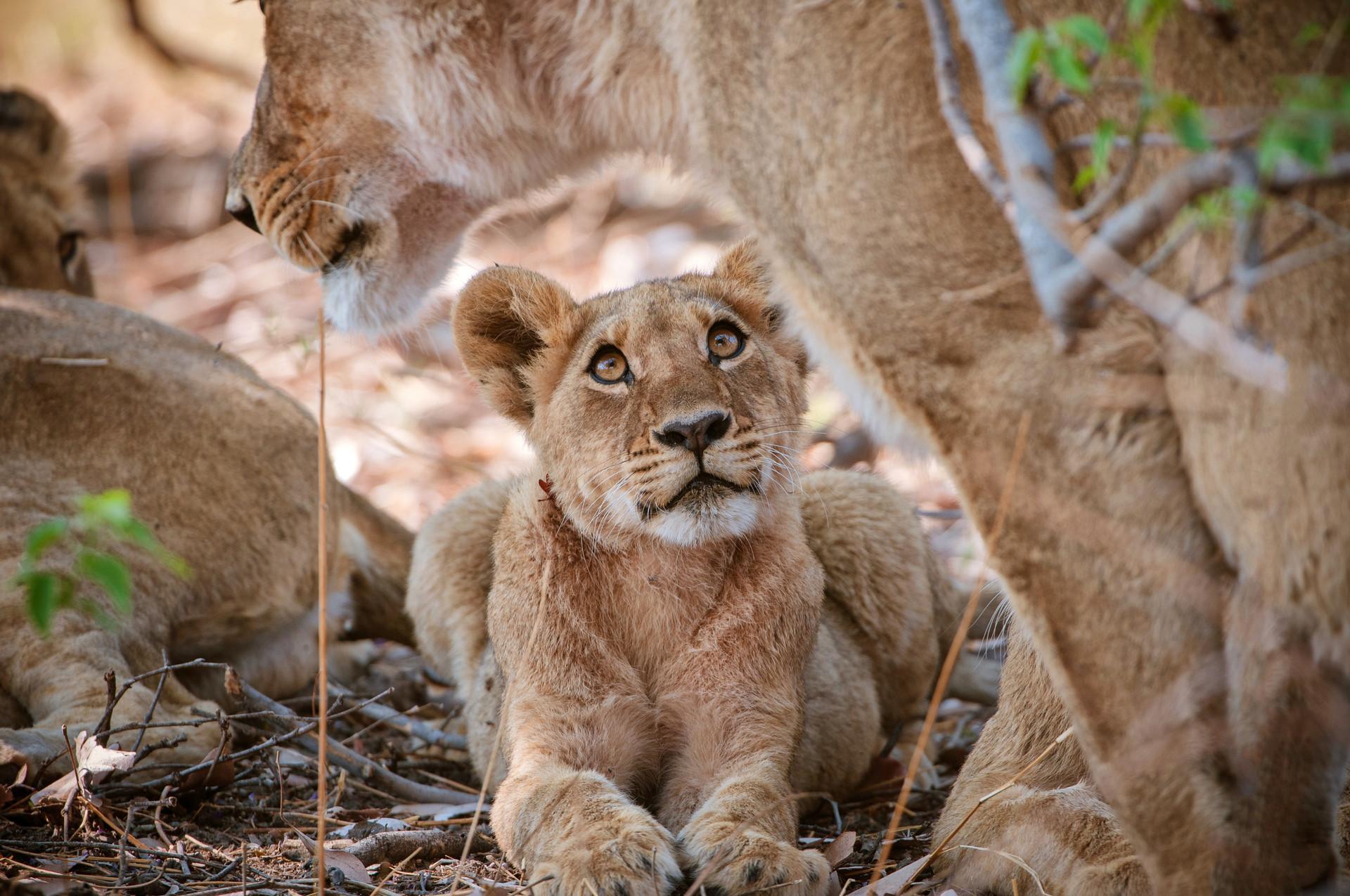LIONS - 51.jpg