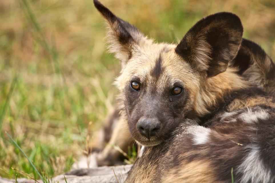 Wilddogportrait.jpg