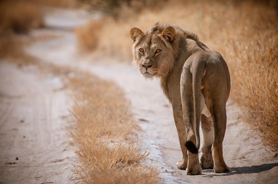 LIONS - 31.jpg