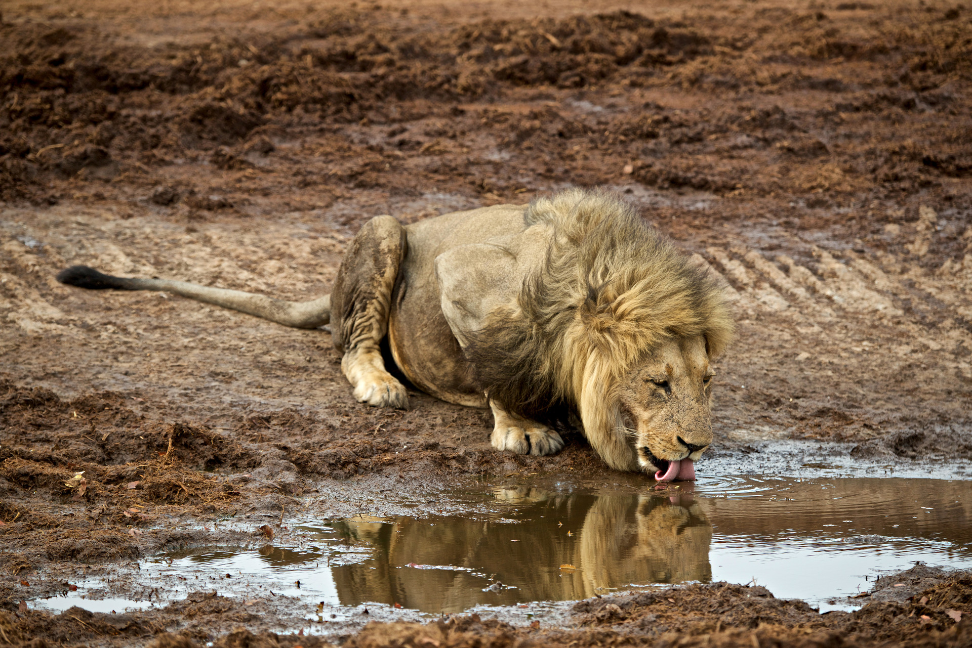 LiondrinkingSavuti.jpg