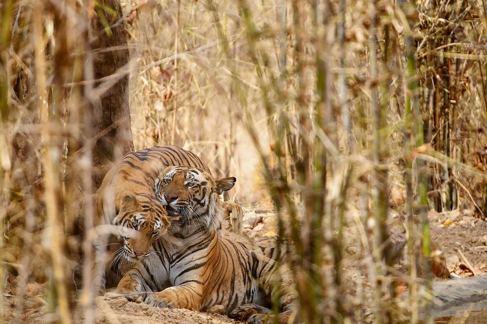 TIGERS - 40.jpg