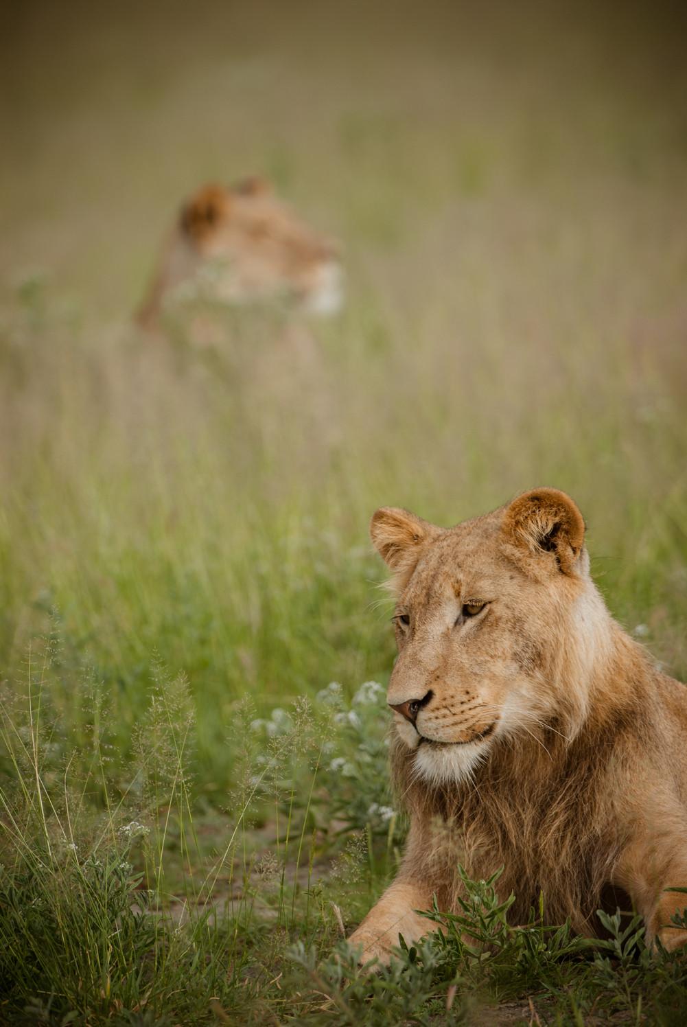 LIONS - 72.jpg
