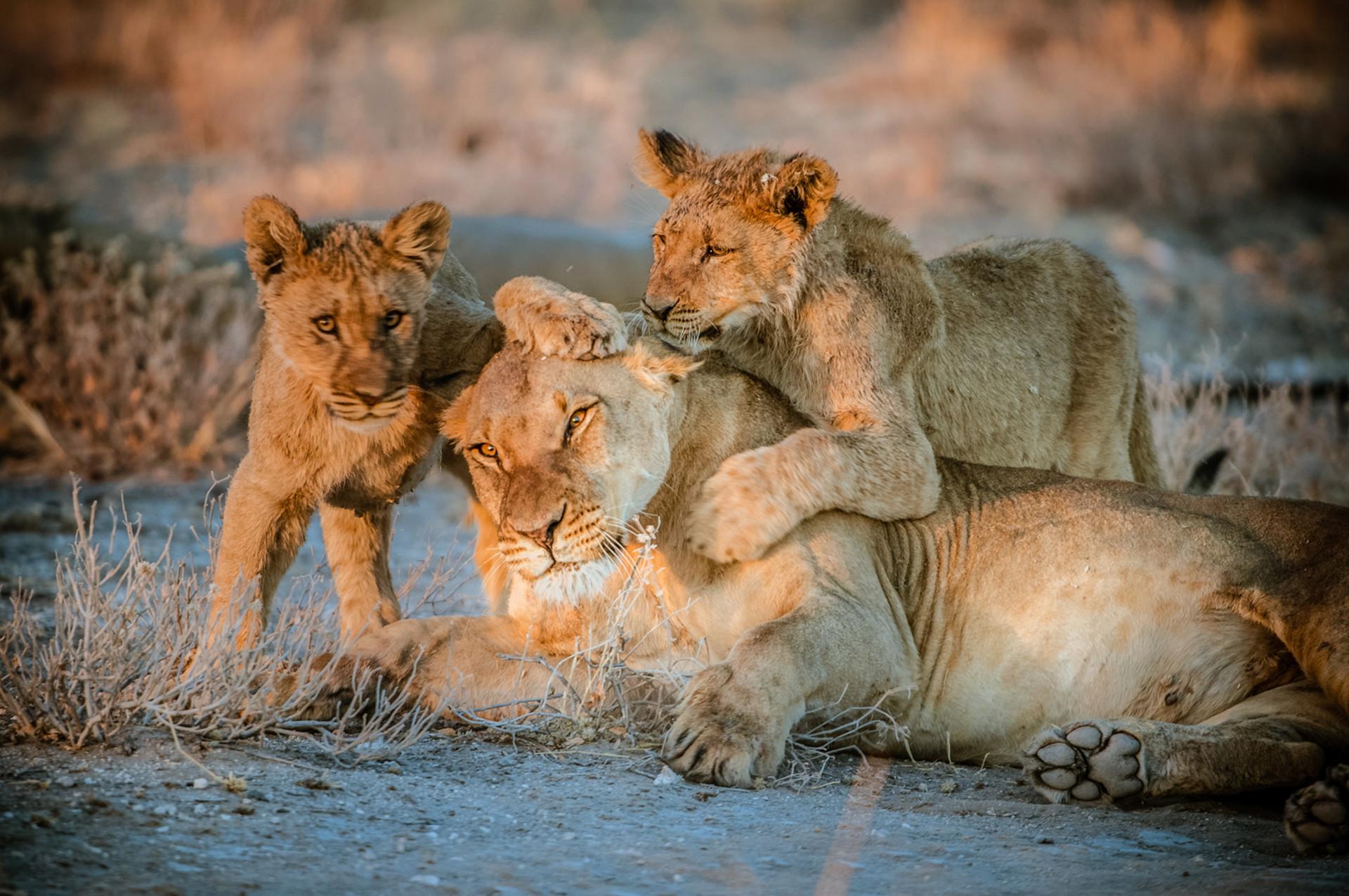 LIONS - 60.jpg