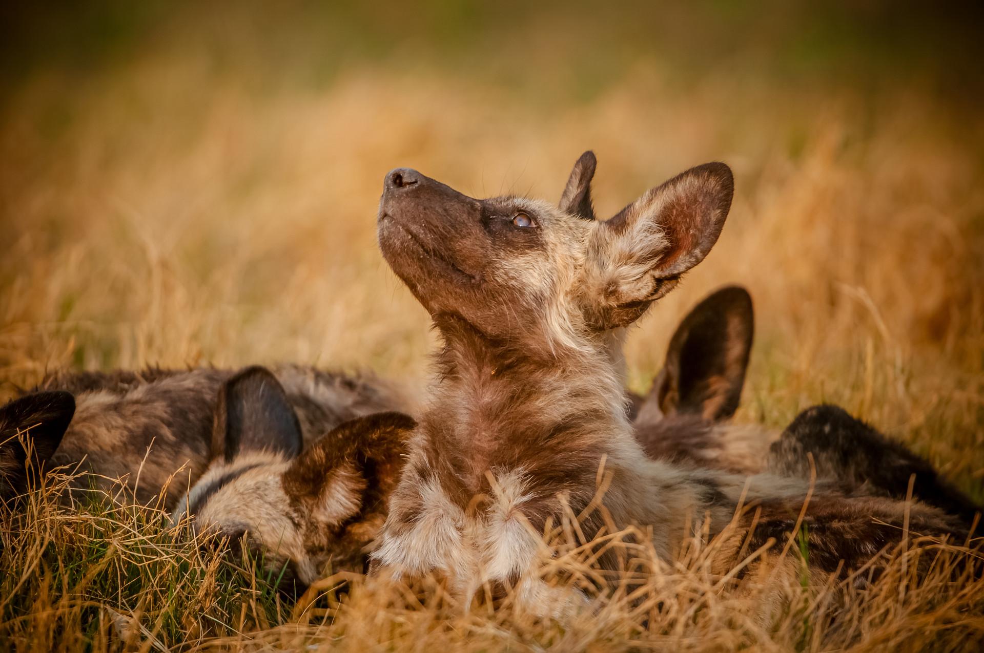 WILD DOGS - 10.jpg