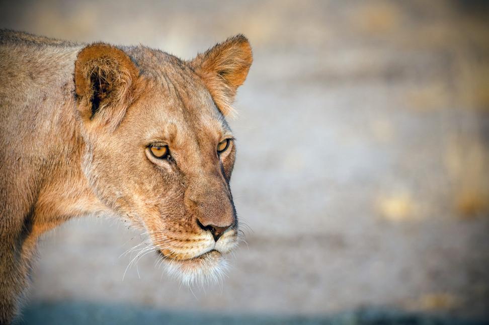 LIONS - 39.jpg