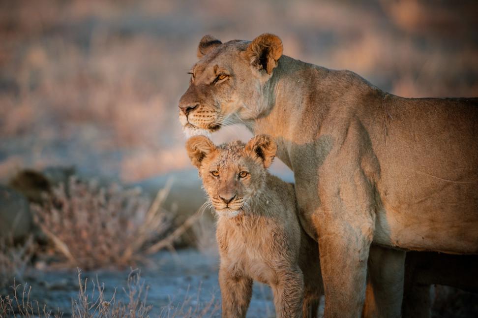 LIONS - 66.jpg