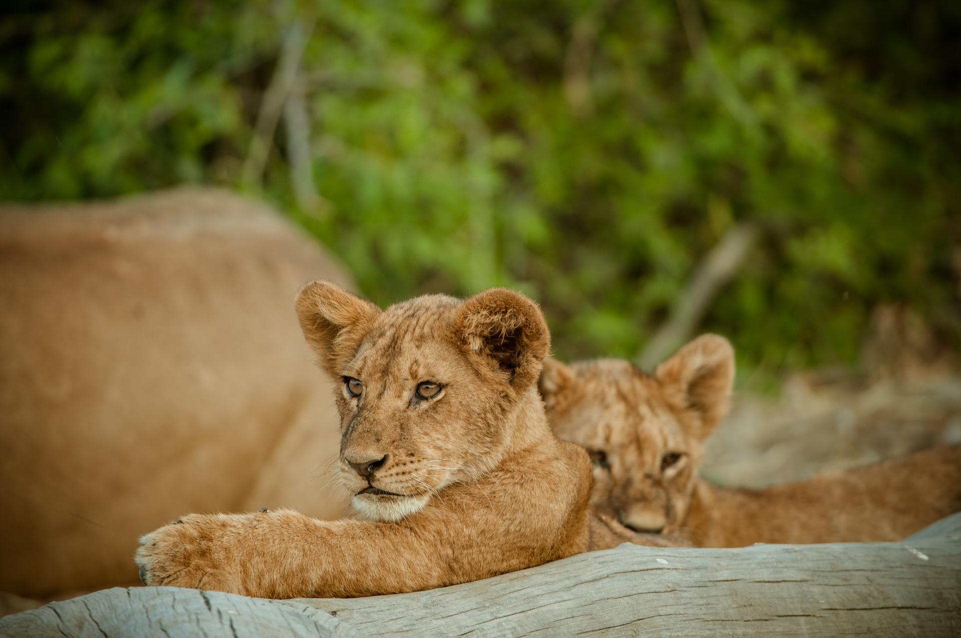 LIONS - 42.jpg