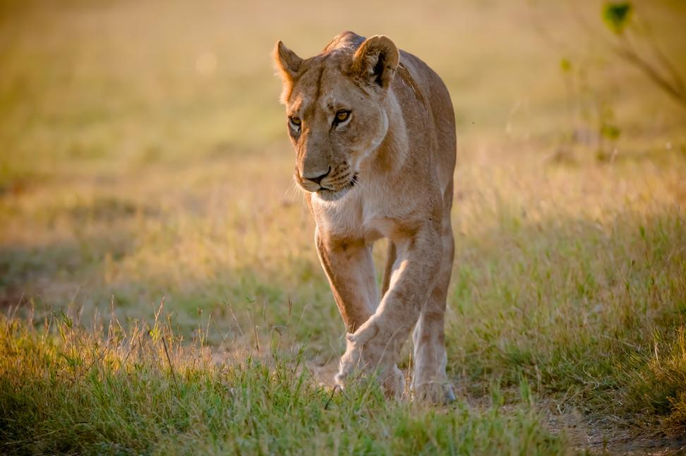 LIONS - 38.jpg