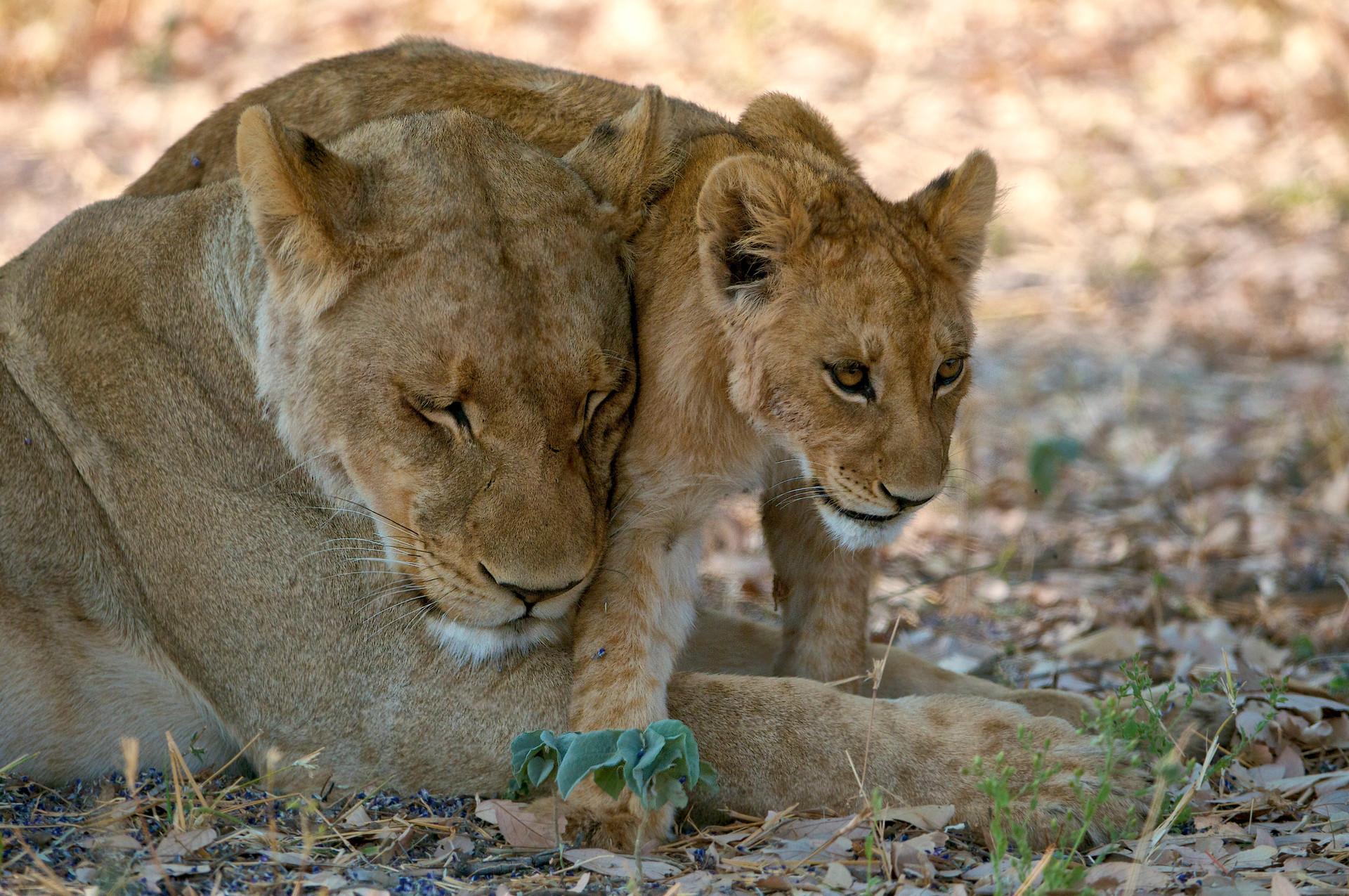 LIONS - 48.jpg