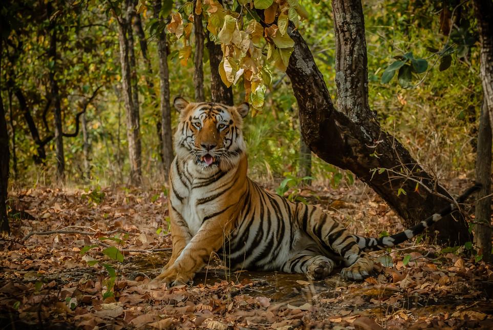 TIGERS - 15.jpg