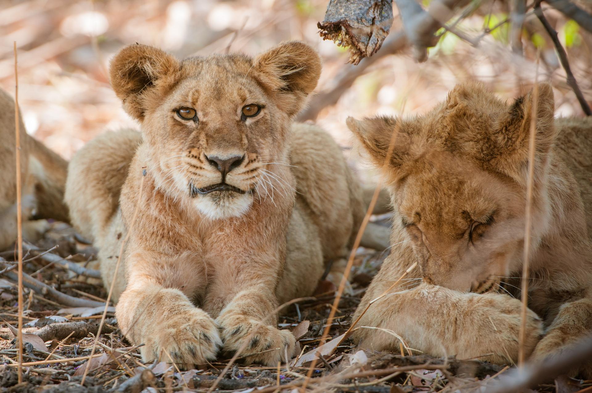 LIONS - 80.jpg