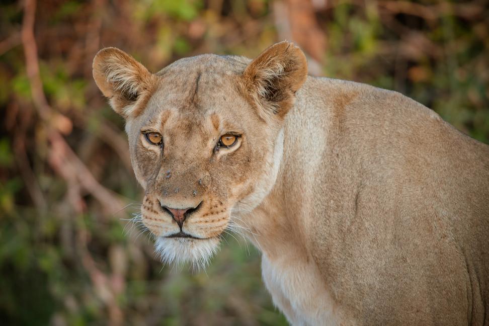 LIONS - 35.jpg