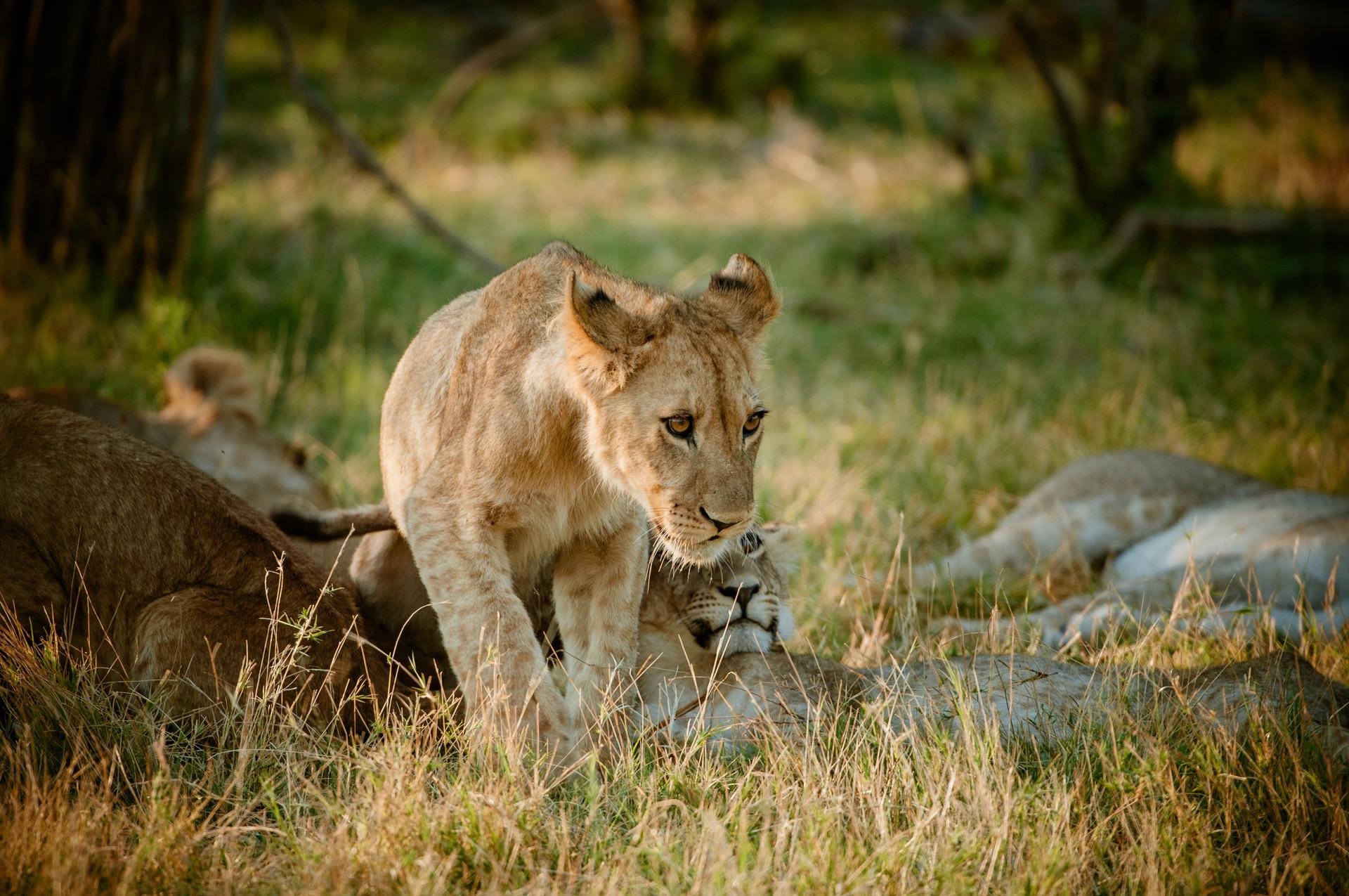 LIONS - 50.jpg