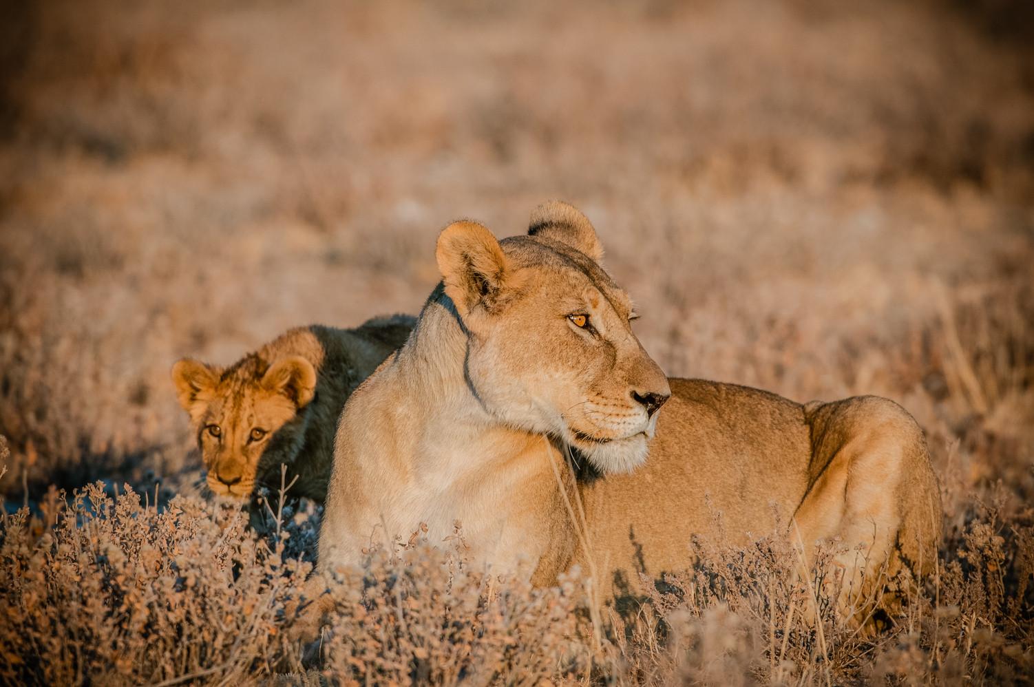 LIONS - 68.jpg