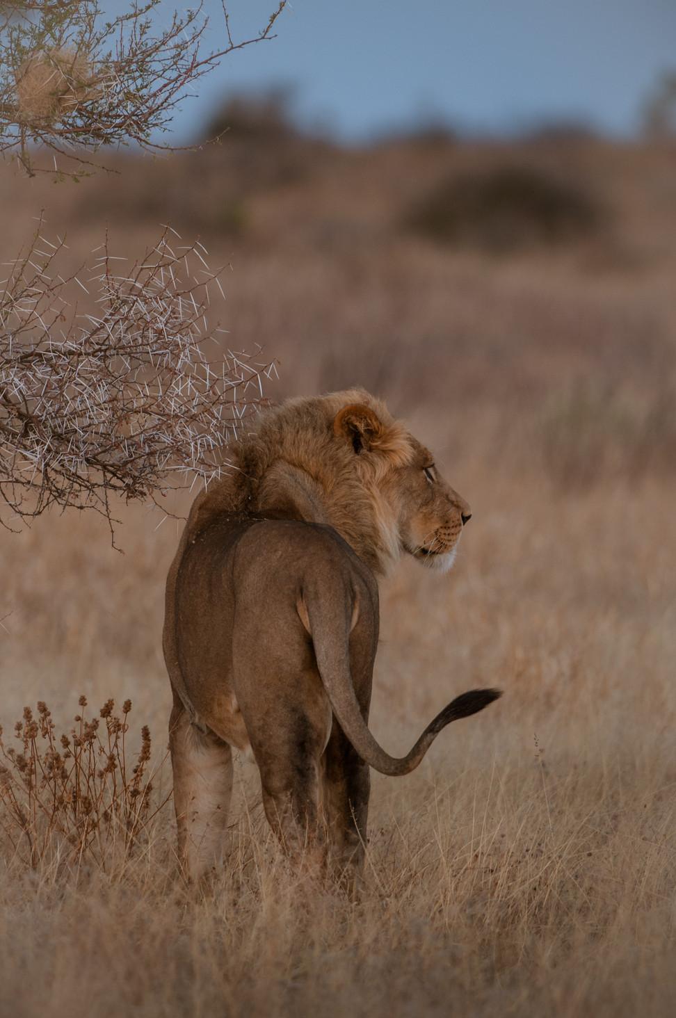 LIONS - 71.jpg