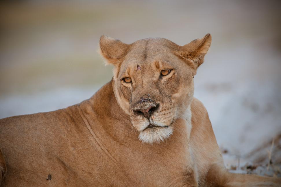 LIONS - 36.jpg