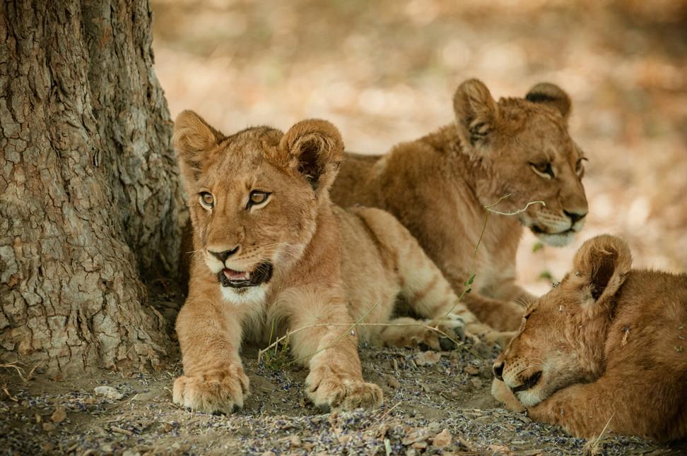 LIONS - 47.jpg