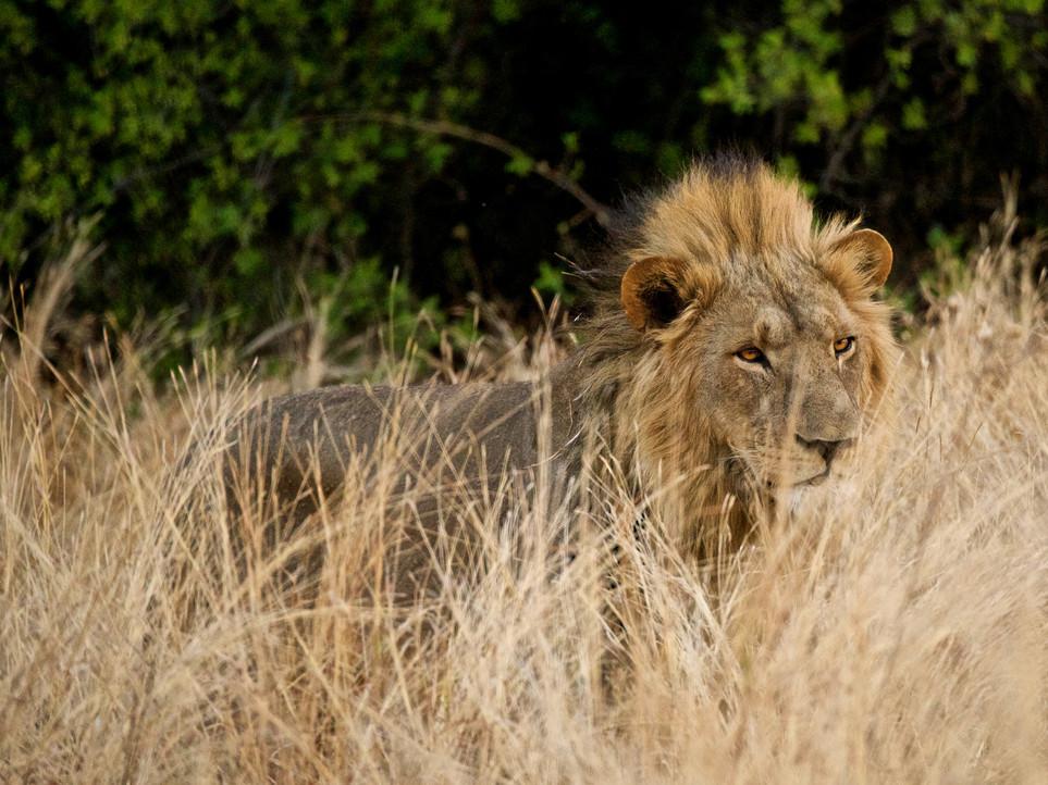 Lionmenacing.jpg