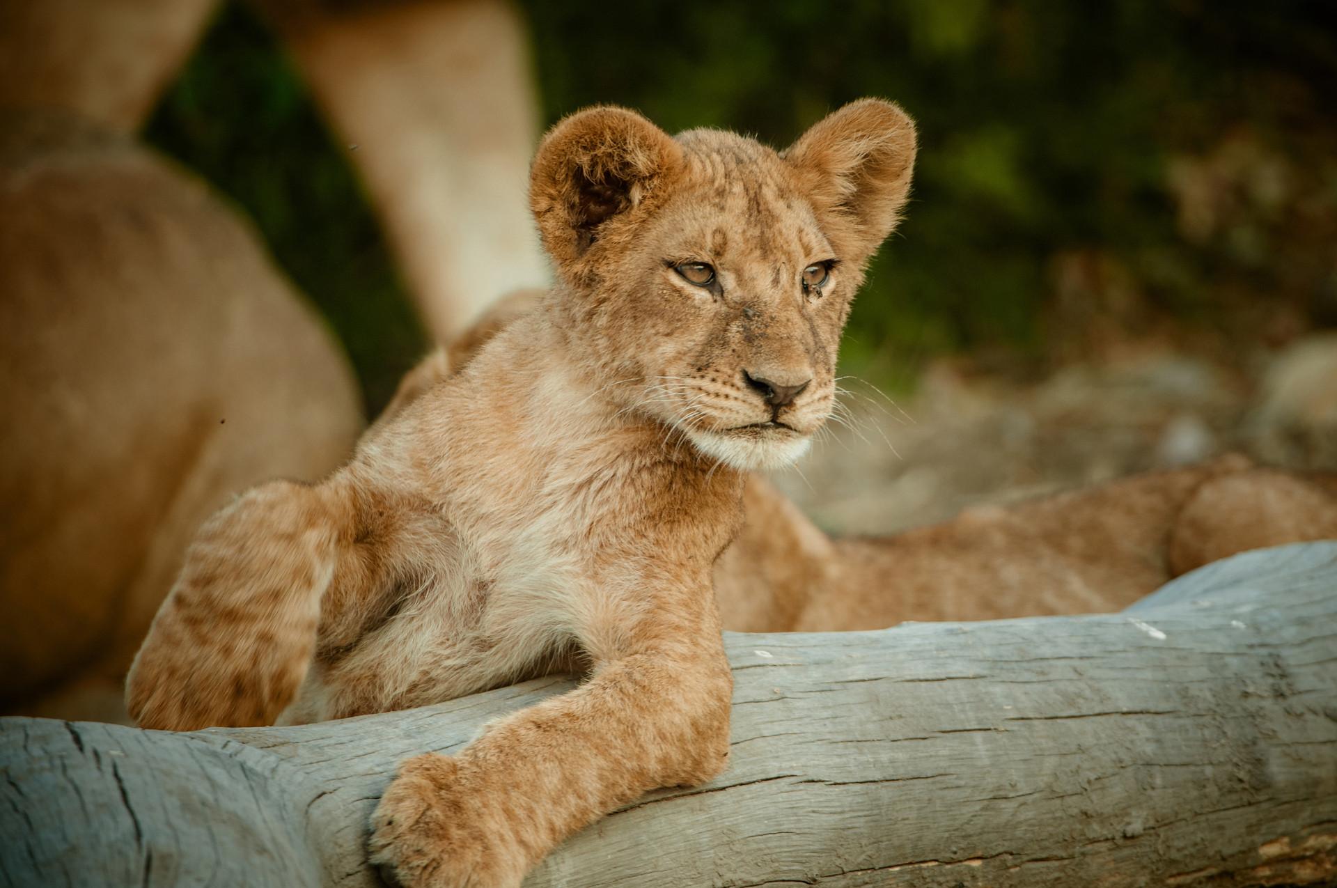 LIONS - 43.jpg