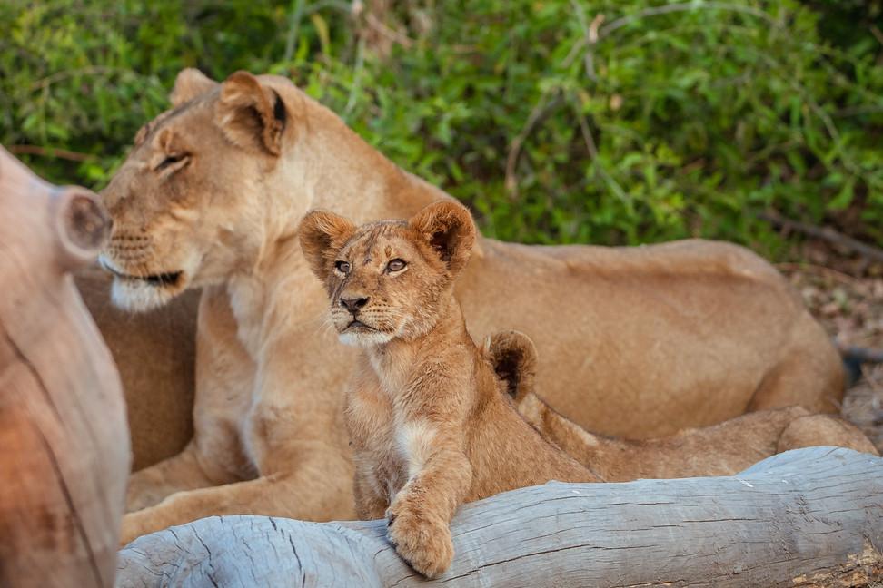LIONS - 45.jpg