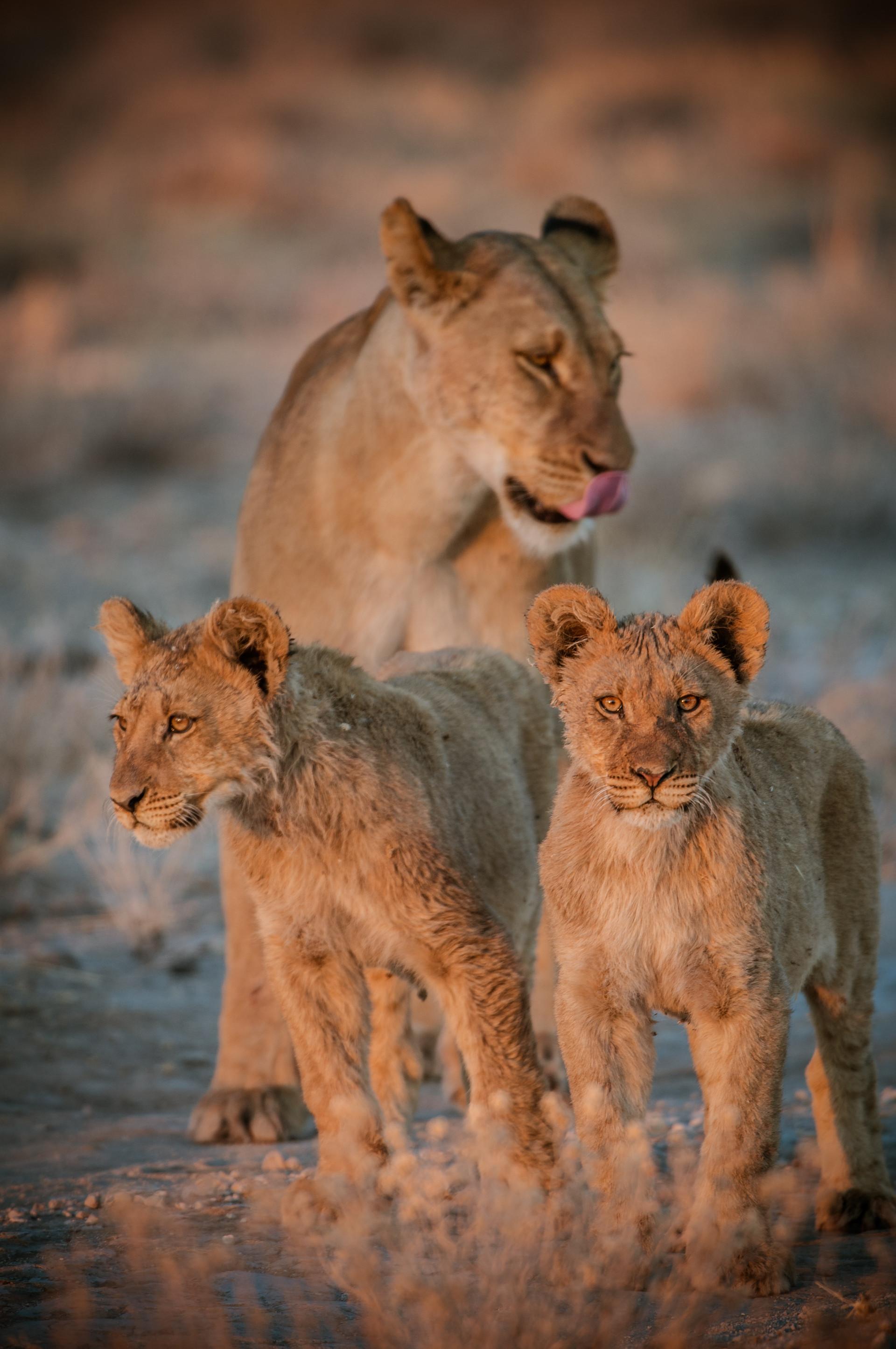 LIONS - 73.jpg