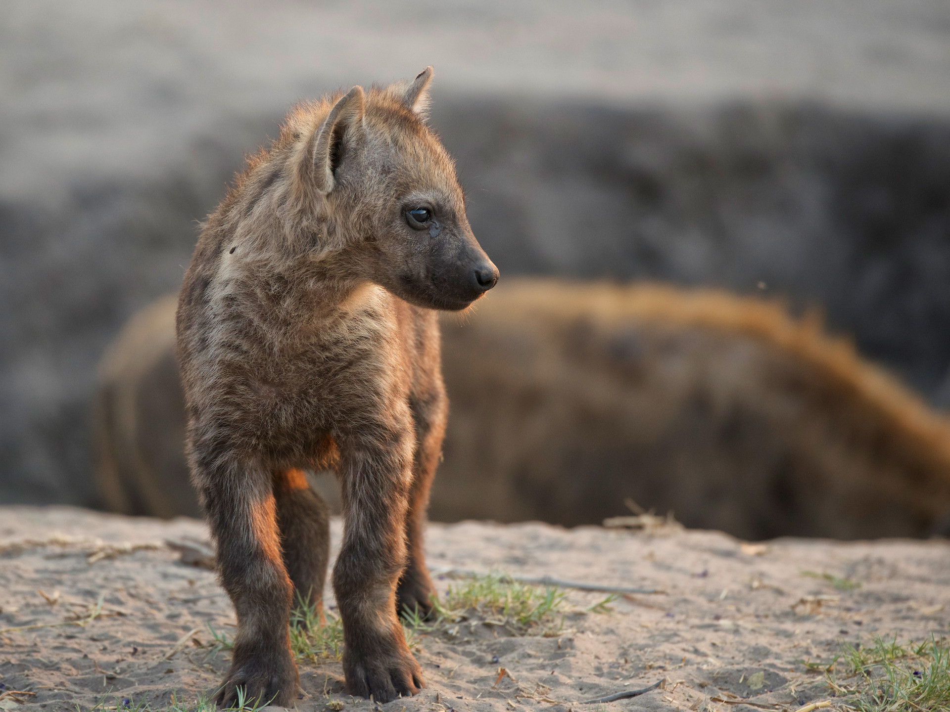 Hyenapup.jpg