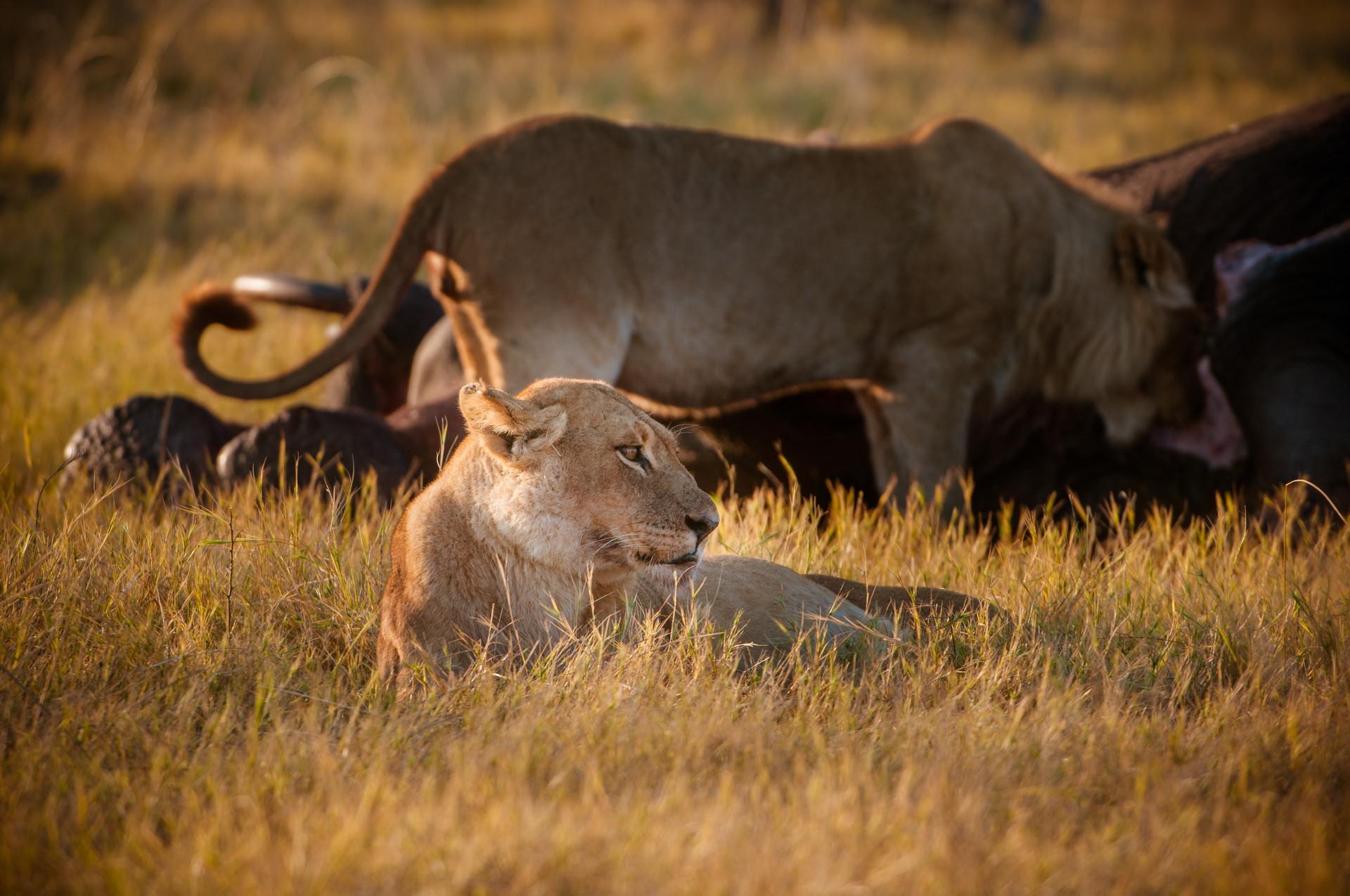 LIONS - 57.jpg