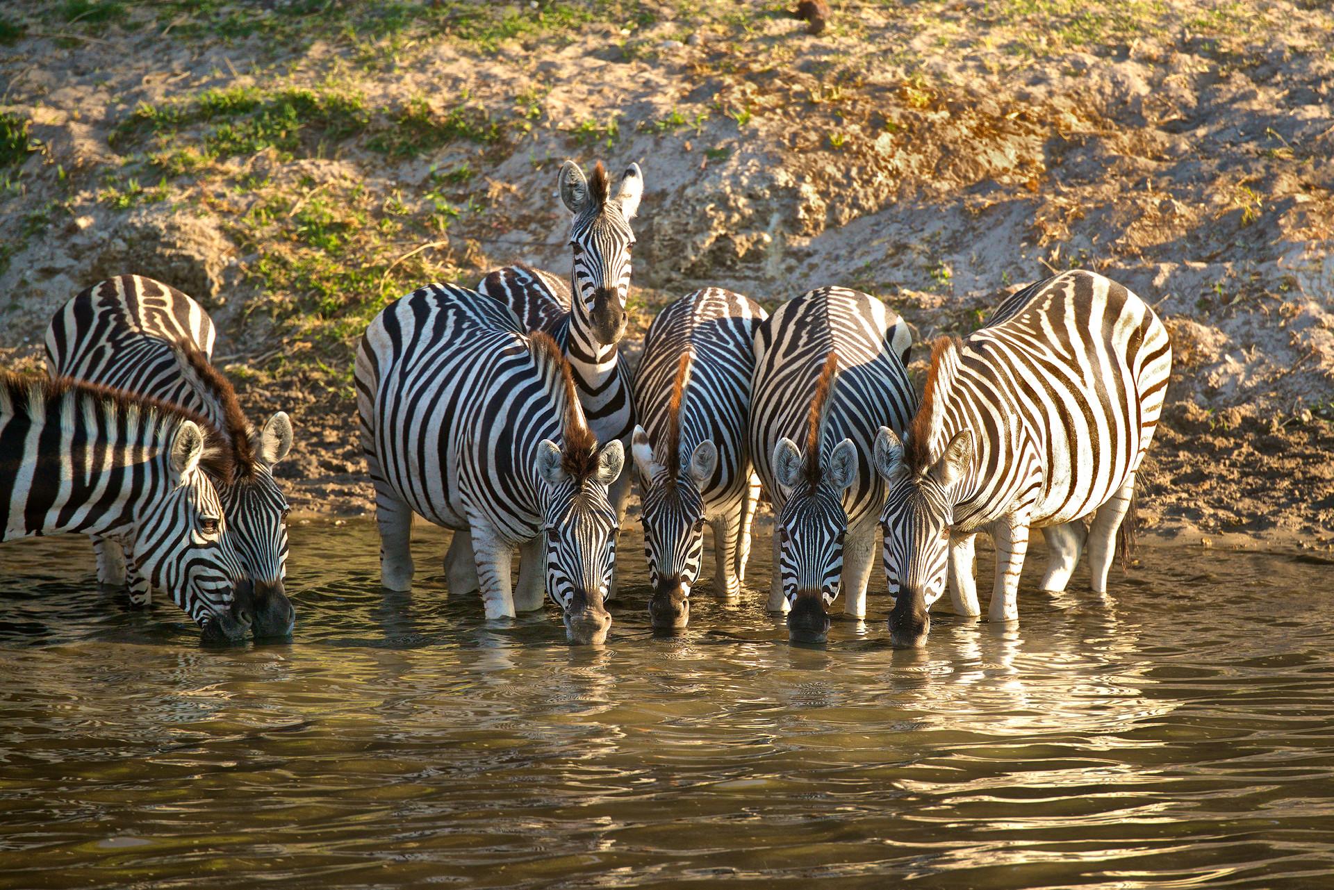 Zebrasdrinking2.jpg