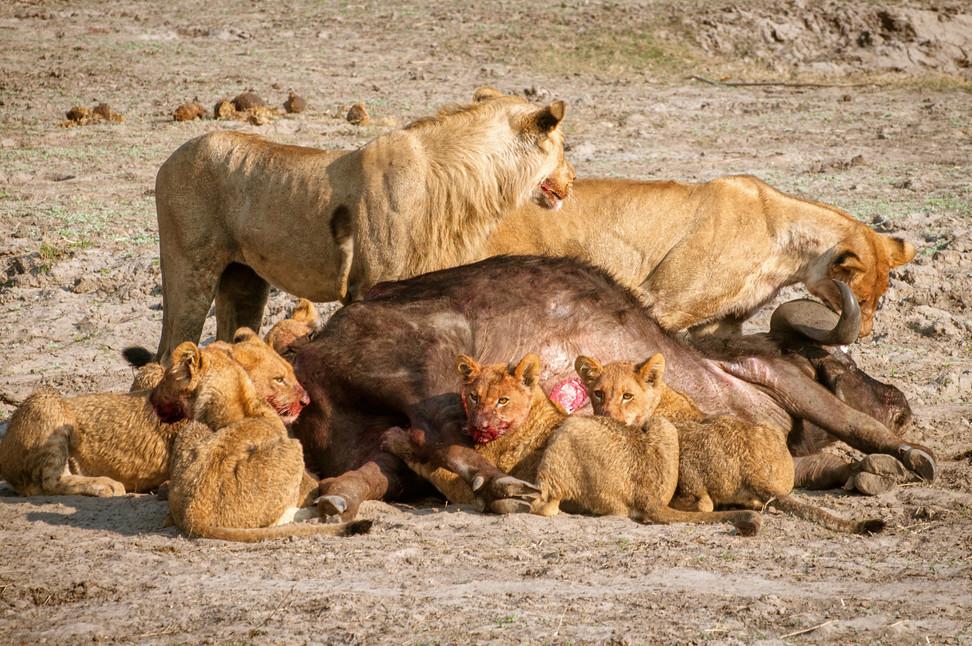 LIONS - 54.jpg
