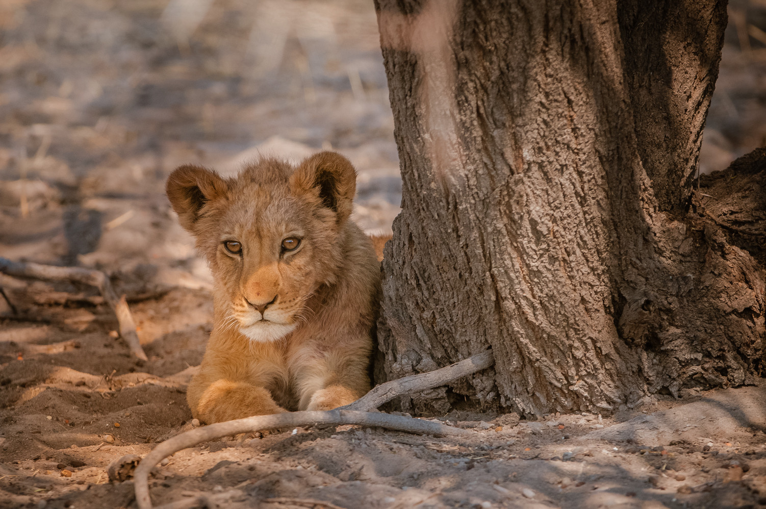 LIONS - 78.jpg