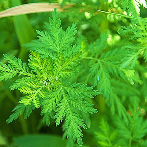 Could Artemisia annua be an effective treatment for Covid-19?