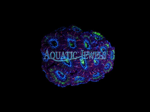 Purple and Green Acan (Acanthastrea