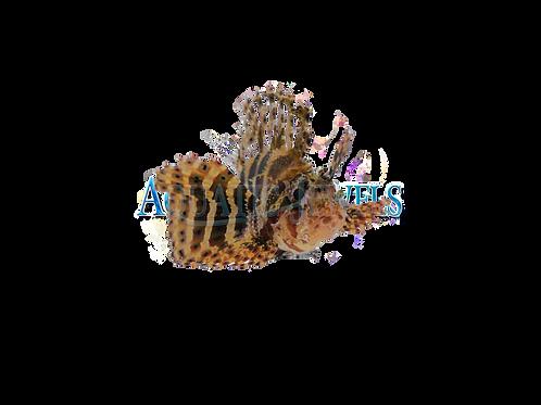 Fuzzy Dwarft Lionfish