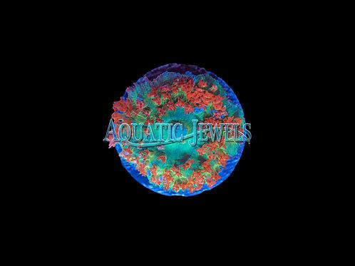 Sant Thomas Mushroom Coral (Mushroom)