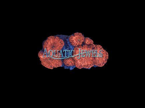 Orange Blasto Rock (Blastomussa)
