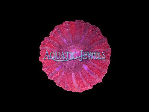 Pink Cynarina (Cynarina Lacrymalis)