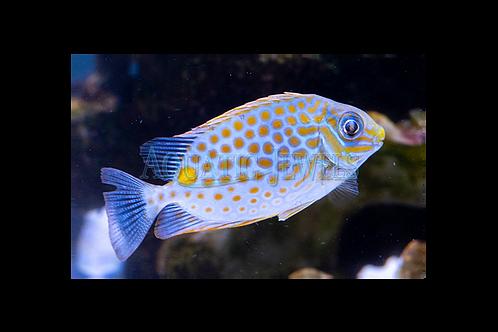Fiji Orangespot Rabbit Fish
