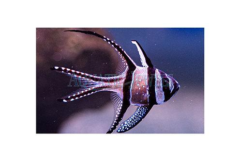 Kaudern's Cardinalfish