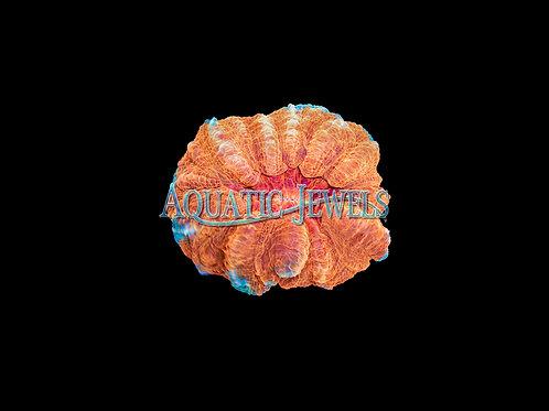 Orange and Blue Acanthophyllia (Acanthophyllia)