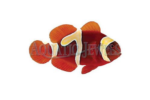 Goldflake Maroon Clownfish