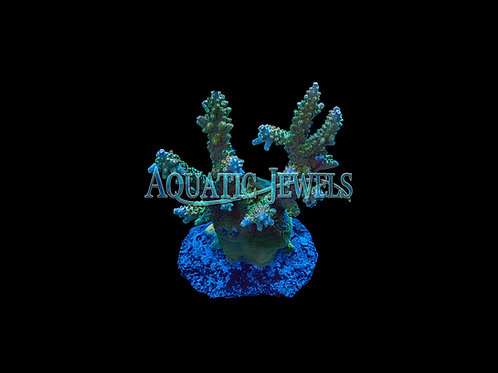 Green Acro Colony (Acropora)