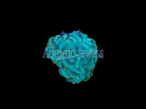 Ultra Green Bubble (Plerogyra Sinousa)
